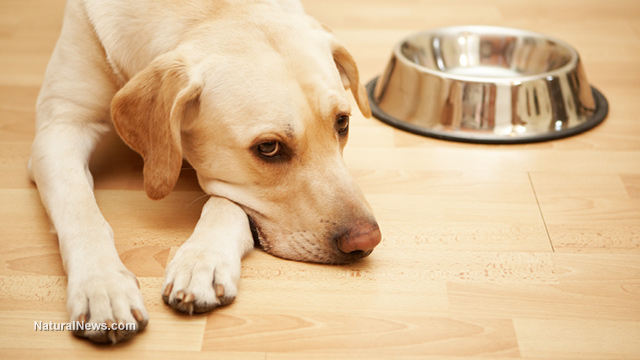 Hungry-Labrador-Dog-Food-Bowl